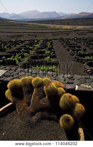 Cactus  Lanzarote Spain La Geria Vine Screw