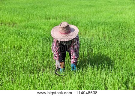 Farmer Working At Green Rice Field