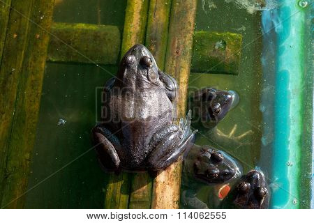 Frog Farming, Agriculturist In Thailand Apply Idea Ape Natural.