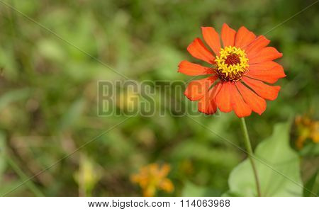 Red Flower With Yellow Stamen With Out Of Focus Green Background Asia