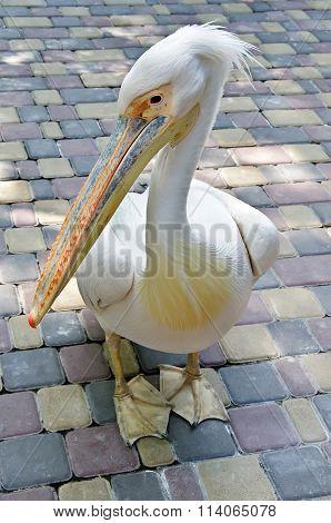 Pelicans In Yalta Zoo