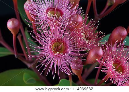 Extreme Closeup Of Beautiful Pink Eucalyptus Flowers And Buds