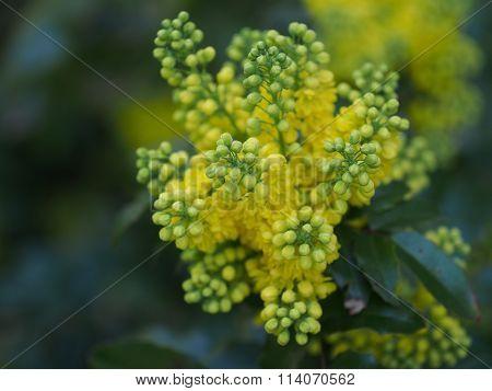 mahonia aquifolium oregon grape with yellow flowers