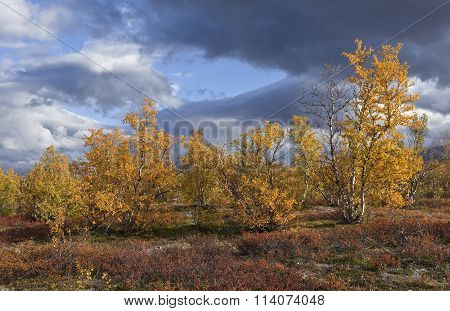 Colorful autumn, fall leaves in the taiga forest, Betula pubescens.