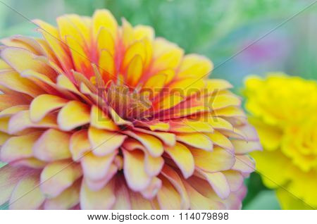 Pink And Yellow Hybrid Aster Flower In Rama 9 (local Name) National Garden, Bangkok Thailand