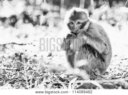 Monkey in the Cedar Forest of Morocco, Africa