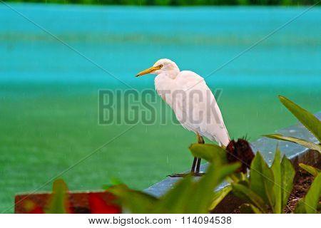 MONSOON WHITE BIRD IN RAIN