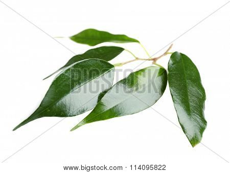 Rubber plant isolated on white