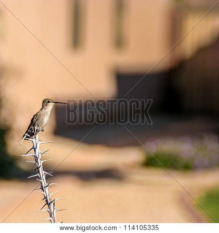 Hummingbird On Dead Ocotillo