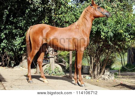 Side View Shot Of A Young Arabian Stallion