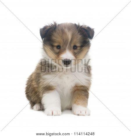 Beautiful happy sheltie puppy dog