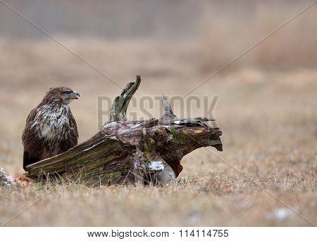 Common Buzzard (buteo Buteo) In December In The Meadow