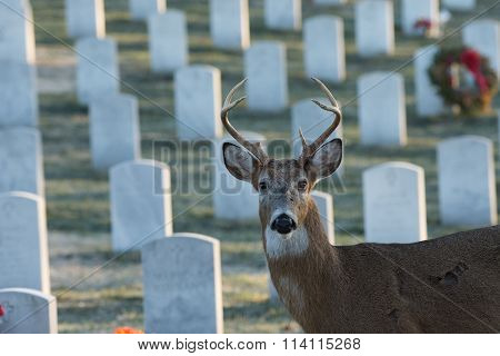 Large White-tailed Buck In Cemetery