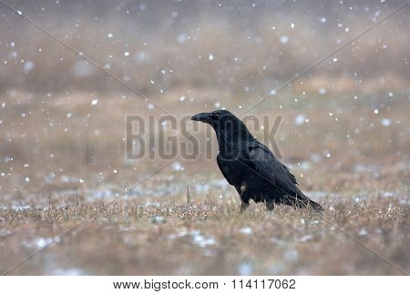 Raven (corvus Corax) In A Snowstorm In The Meadow