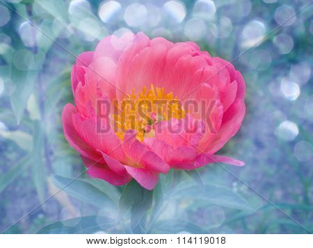 pink peonies are on blur background