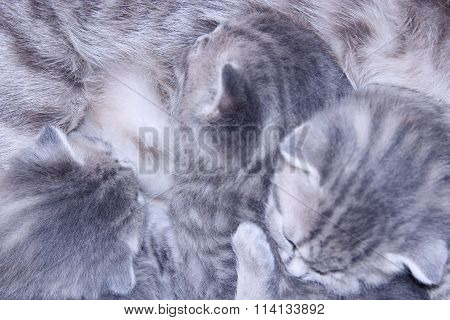 Sleeping Kittens Of Scottish Straight Breed
