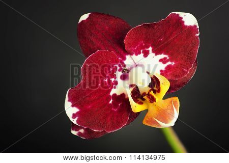 Red Orchid Flower on black background