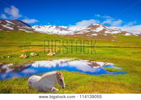 Summer Iceland. Small lake surrounded by green fields. At the water resting White Icelandic horse