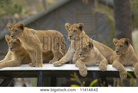 Lion Cubs Alert