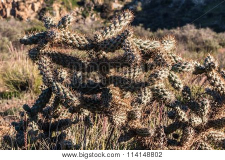 Cholla Cactus Plant Growing in Wilderness