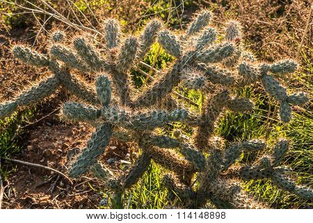 Cholla Cactus Plant Growing in Desert