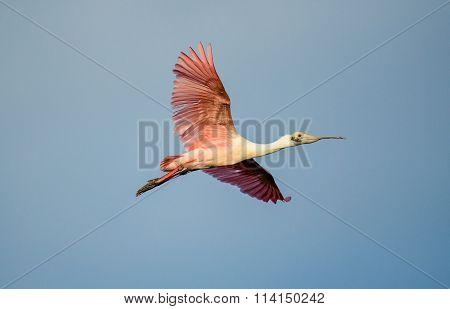 Adult Roseate Spoonbill (platalea Ajaja) In Flight Against Blue Sky.
