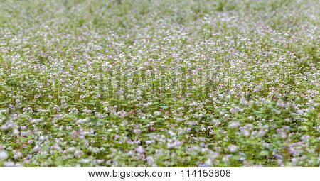 Buckwheat flower fields shimmer in the autumn wind