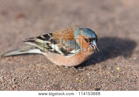 Chaffinch Eating Seeds