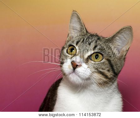 White and gray stripped tabby on pink and yellow textured background