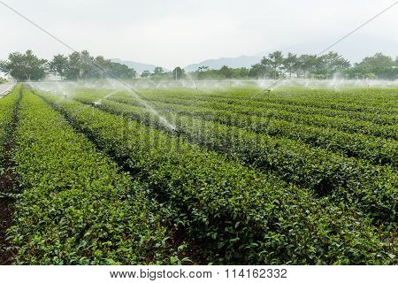 Green tea plantation with water sprinkler system