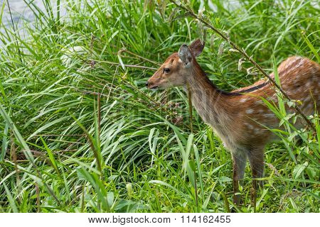 Deer Fawns
