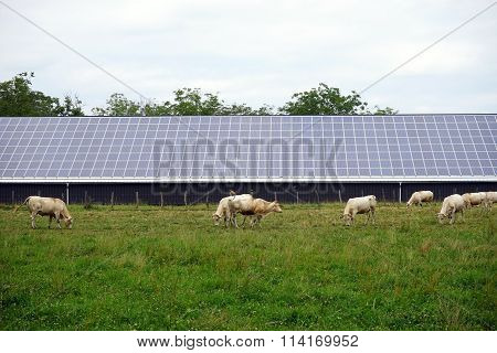 Cows And Solar Power Station
