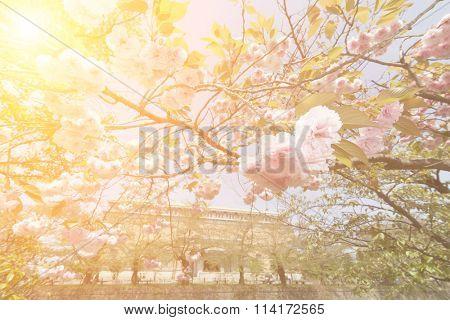 Sakura flowers in daytime at Kyoto with nobody.