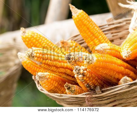 Corn In Wood Basket