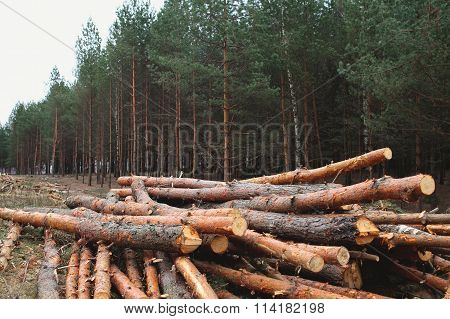 Environment, Nature And Deforestation Forest - Felling Of Trees In Woods