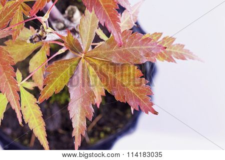 Maple Leaves Of Bonsai