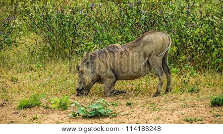 Eating warthog at savannah, Kenya