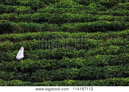 Woman harvesting on the tea plantation