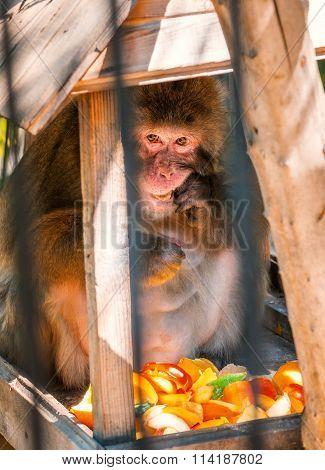 Monkey Eating Fruit In Zoo