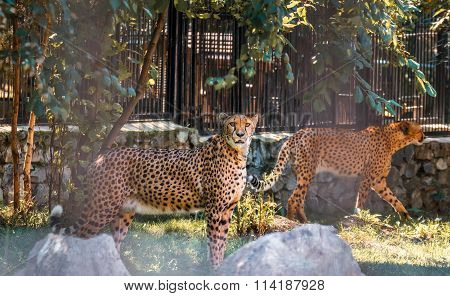 couple of cheetahs resting