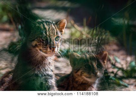 portrait Wild Cats ,Felis silvestris