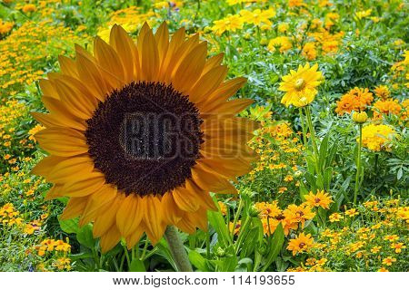 Sunflower in front of meadow with several yellow flowers
