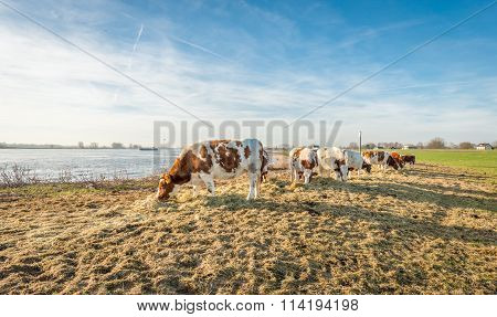 Red Holstein Cows At The Bank Of A River