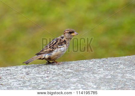Little Sparrow. The bird view