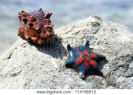 Live marine animals. Starfish and sea cucumber.