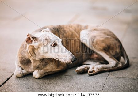 Sighthound dog is lying on street sidewalk