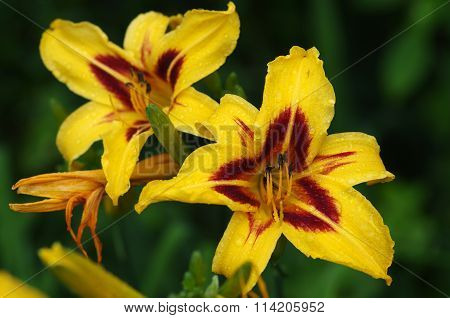 Daylily In The Garden