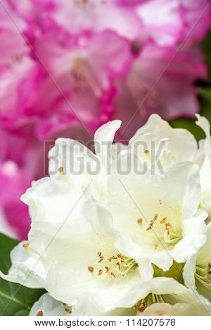 Pale yellow rhododendron flowers