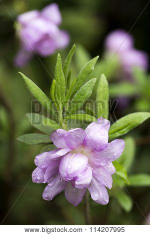 Azalea double flower