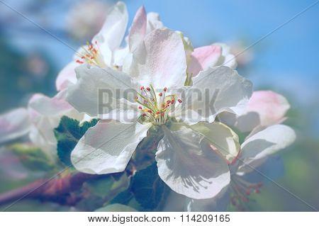 macro flower of blooming apple tree on blue sky